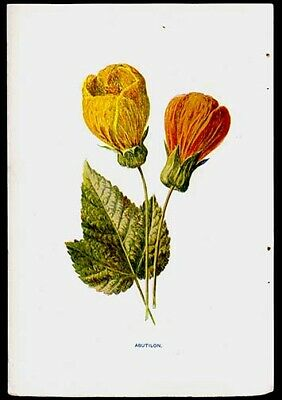 Chinese Lantern 1897 F. Edward Hulme Lithograph Wild Flowers Horticulture