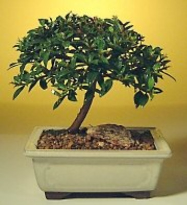 Dwarf Weeping Barbados Cherry Flowering Bonsai Tree Malpighia Pendiculata 7yo 7 65 99 Picclick