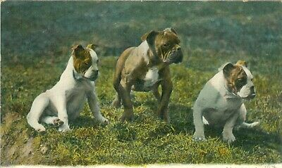 Old Dog Pit Bull Dog Postcard Three Graces Raphael Tuck Photochrome 1907