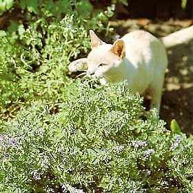 CATMINT - Nepeta -* IRRESISABLE TO CATS* -  20 Seeds