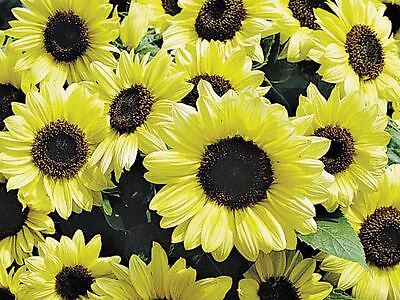 SUNFLOWER Valentine 10 seeds