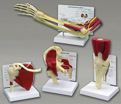 Muscled Bone Joint Anatomical Model Set of 4   Knee Hip Shoulder Elbow #4016 ^