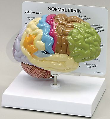 Brain Anatomical Model Half Sectioned with Key Card LFA #2950 CEM