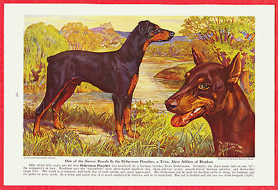 1941 Dog Print Illustration ~ DOBERMAN PINSCHER by Edward Herbert Miner