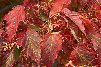 Acer davidii (Pere David's Maple) - 25 seeds. Orange & yellow leaves in autumn.