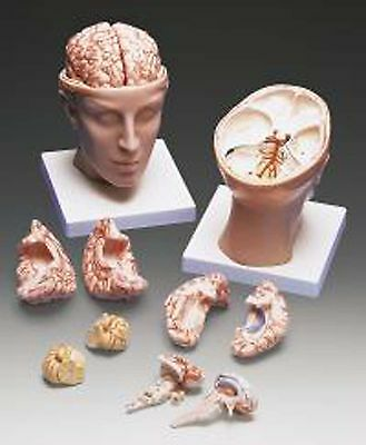 Head with Brain Anatomical Model LFA #2031 Professional