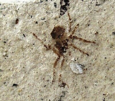 Rare fossil spider from Miocene of France
