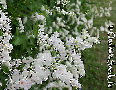 50+ RARE WHITE ALBA Coral Vine Seeds VIGOROUS BLOOMER Free shipping after first