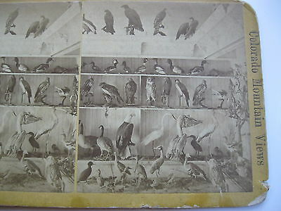 W.g. Chamberlain's, Taxidermy Birds, 1876 Philadelphia Expo View?, Stereoview