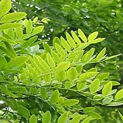 Sophora japonica (Pagoda Tree) - Summer Flowering & Great For Bonsai - 20 seeds