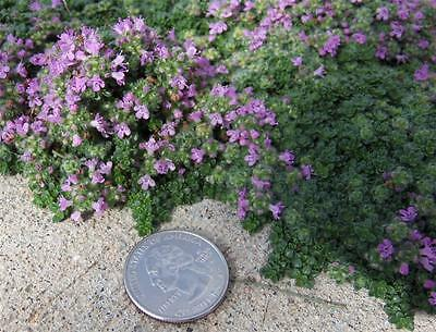 ACTUAL PLANTS Organic Herb Garden Flower Creeping Thyme Ground Cover BARE ROOTS!