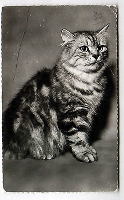 Vintage Real Photo 1930s postcard Striped Tabby Cat/Scottish Fold Type PARIS