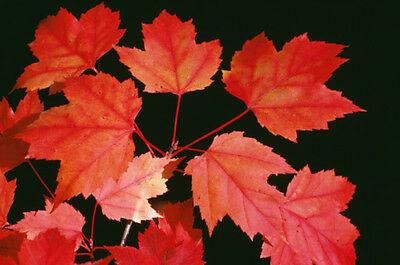 Acer rubrum (Red Maple) - Scarlet foliage in autumn, ideal for Bonsai - 20 seeds