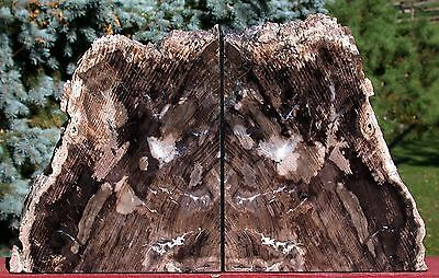 SiS: BIG & BREATH TAKING Petrified Wood Bookend Set - 16 lb. GEMMY FOSSIL PINE!
