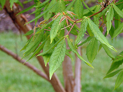 Acer triflorum seeds (Rough Barked Maple) - 10 seeds. Great For Bonsai Training.