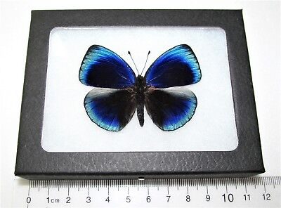 Real Framed Butterfly Blue Callithea Optima Peru
