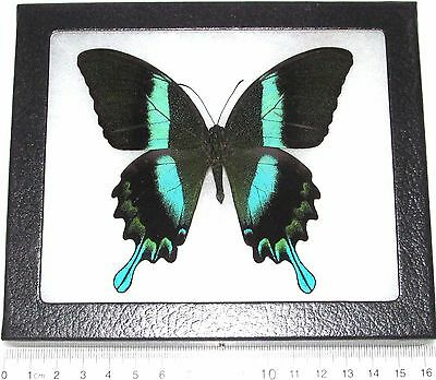 Real Indonesian Metallic Blue Green Blumei Butterfly Insect Framed