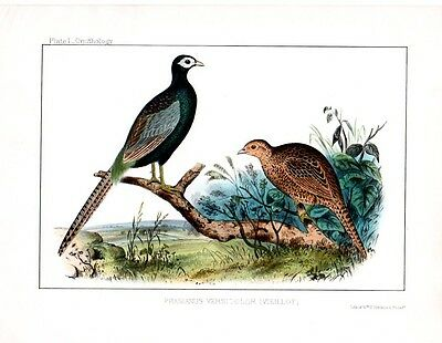 PHEASANT BIRDS of Asia Japan CHINA RARE Antique Art Print LITHOGRAPH 1850s