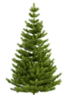 Picea abies (Norway Spruce) - Large Packet - 100 seeds.
