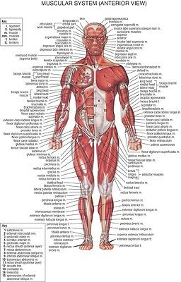"Human Body Anatomical Chart Muscular System Fabric poster 36"" x 24"" Decor 03"