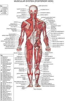 "Human Body Anatomical Chart Muscular System Fabric poster 20"" x 13"" Decor 02"