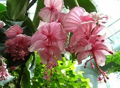 Medinilla magnifica Malaysian Orchid 80 seeds