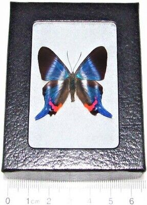 Real Framed Butterfly Blue Rhetus Dysoni Peru
