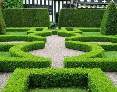 10 Japanese Buxus Plants Hedge Topiary Flower