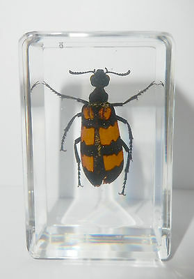 Insect Specimen - Blister Beetle (Mylabris phalerata)in Clear Lucite Paperweight