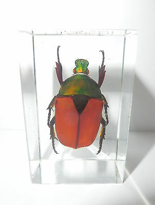Brown Rose Chafer Beetle Insect Specimen (in clear small Lucite Paperweight)
