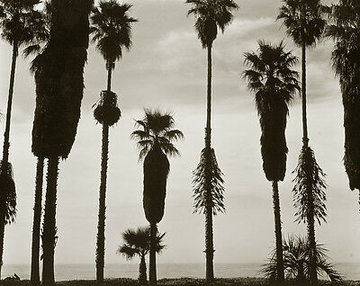 MARCH MADNESS SALE - BRETT WESTON - VINTAGE 1958 PALMS SILHOUETTE - 8X10 PHOTO