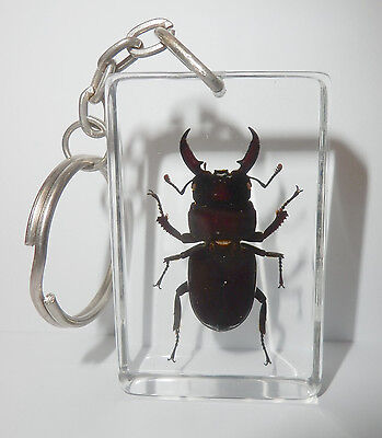 Insect Key Ring - Black Stag Beetle (Dorcus mellianus) Clear Rectangular Block