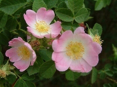 Rosa eglanteria Sweet Briar Rose 15 seeds