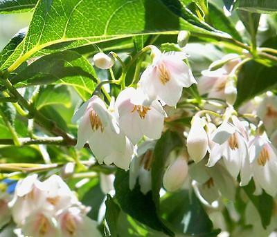 Styrax Japonicus - 10 Seeds - Japanese Snowbell