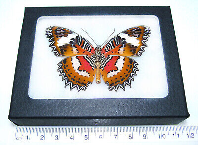 Real Framed Butterfly Red Orange Cethosia Hypsea Verso Indonesia