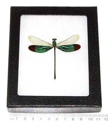 Real Green Dragonfly Damselfly Vertical Framed Insect