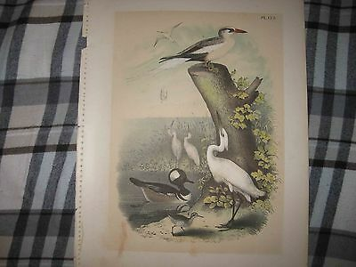 Gorgeous Antique 1903 Tropic Snowy Heron Spotted Sandpiper Bird Lithograph Print