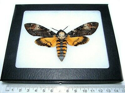 Real Framed Acherontia Atropos Silence Of The Lambs Death's Head Moth