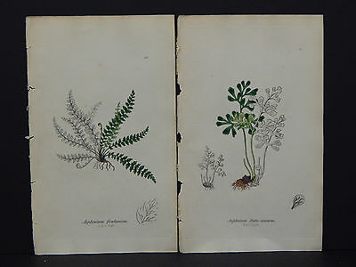 The Ferns of Great Britain John E Sowerby 1855 Two Plates Original Hand Color 08