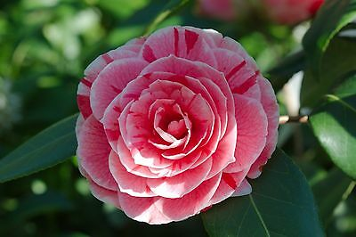 10 Seeds Camellia japonica Japanese camellia Tea Flower Rose of winter Tree Seed