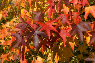 Liquidambar styraciflua  (Sweet Gum) - 20 seeds. Unrivalled Autumn Colours!