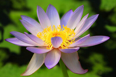 105 Seeds 100 grams Nymphaea Water Lily Waterlily Mixed Colors Seed Wholesaler