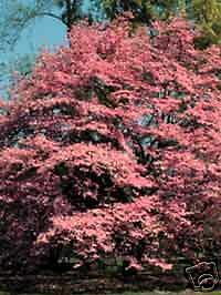 Cornus florida RED FLOWERING DOGWOOD Seeds!