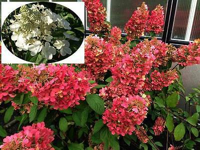 hydrangea paniculata pinky winky rispenhortensie rot hochstamm 140 160cm. Black Bedroom Furniture Sets. Home Design Ideas