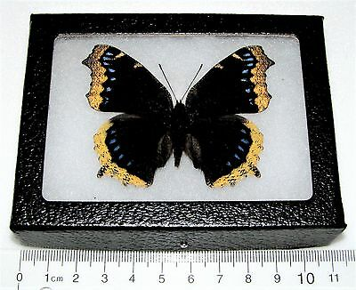 Real Framed Butterfly Mourning Cloak Nymphalis Antiopa California