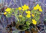 Caltha palustris MARSH MARIGOLD Aquatic Seeds!