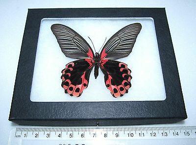 Real Pink Red Philippines Papilio Rumanzovia Verso Framed Butterfly Insect