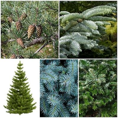 Christmas Tree Seed Collection -  5 Packets -  Save approx 30% on normal prices!