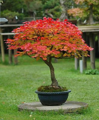 Acer japonicum aconitifolium (Full Moon Maple) - AGM Winner - 10 seeds