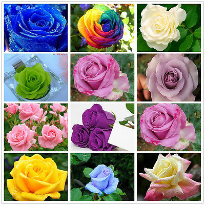 20Pcs Rare Rainbow Rose Valentine Flower Seeds Office Garden Home Plant Decor